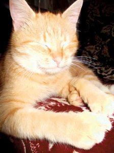 05_кіт левчик-домашній лев_СТАРИНЕЦЬ